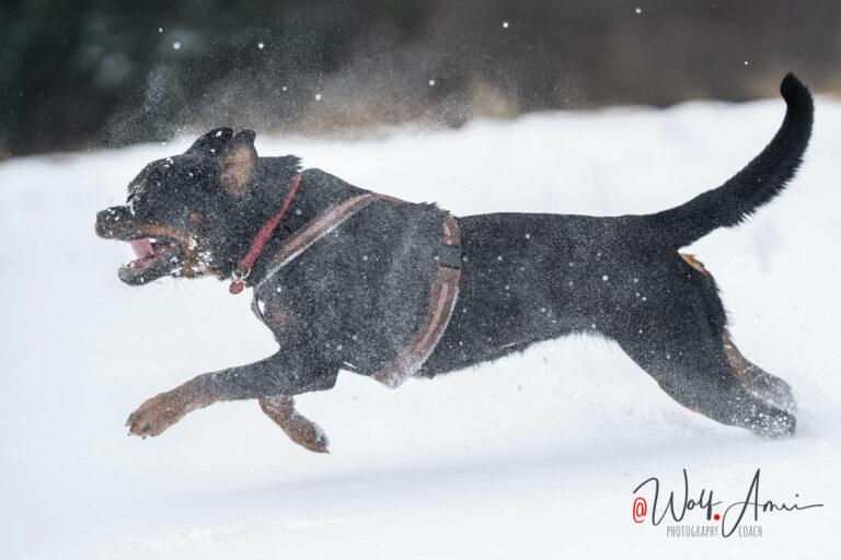 running dog in snow